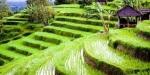 Rijstvelden Batukaru