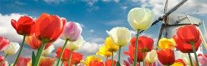 01-tulpen-molen