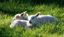 lambs-502572__180