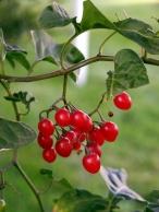 berries-536997_1280 (1)