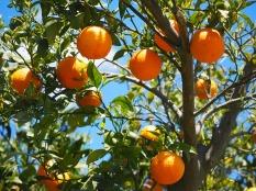 sinaasappels
