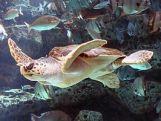 Loggerhead_Sea_Turtle_mirror_image