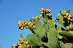 1005 cactusvijg 3